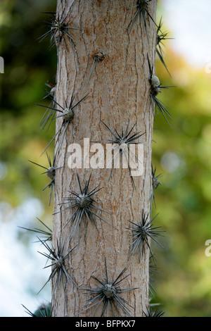 Trunk of the Rose Cactus, Pereskia grandifolia, Cactaceae, Brazil, South America syn. Cactus or Rhodocactus grandifolius. - Stock Photo