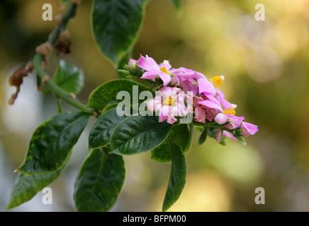 Rose Cactus, Pereskia grandifolia, Cactaceae, Brazil, South America syn. Cactus or Rhodocactus grandifolius, Cactus - Stock Photo