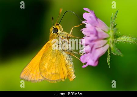Large Skipper Butterfly (Ochlodes sylvanus) female. Slovenia, August. - Stock Photo