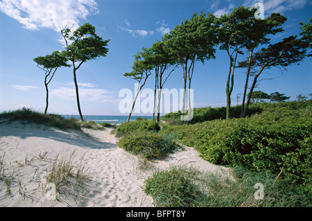 dunes, darss, mecklenburg-western pomerania, germany, - Stock Photo