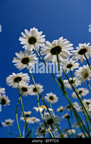oxeye daisy, marguerite, leucanthemum vulgare - Stock Photo