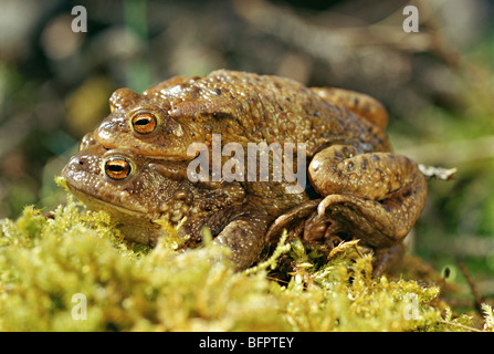 european common toad, bufo bufo - Stock Photo