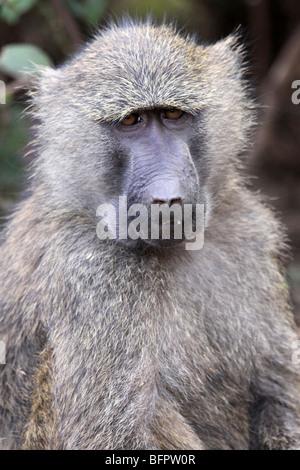 Olive Baboon Papio anubis female Taken In Ngorongoro Conservation Area, Tanzania - Stock Photo