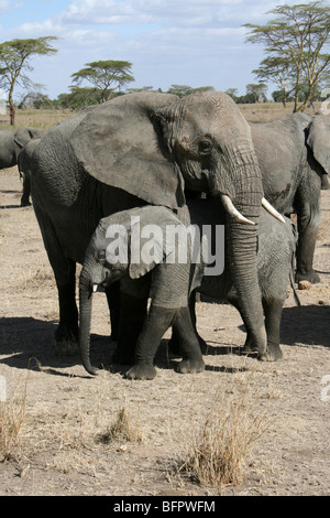 African Elephant Loxodonta africana Mother And Calf Taken In The Serengeti NP, Tanzania - Stock Photo