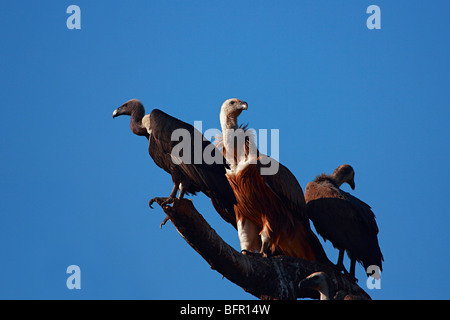 Vultures, Gyps indicus, is an Old World vulture in the family Accipitridae. - Stock Photo
