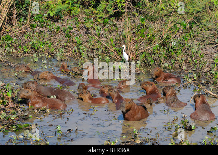Capybaras (Hydrocoerus hydrocaerus) group wallowing in muddy pool, Pantanal, Brazil. - Stock Photo