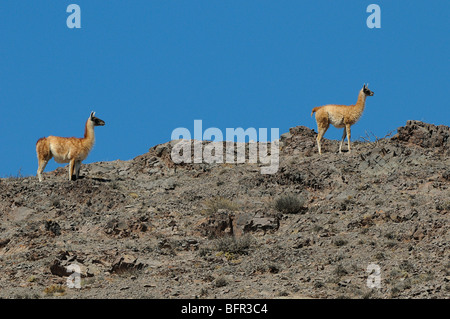 Guanaco (Lama guanicoe) pair on rocky ridge, Los Cardones National Park, Argentina - Stock Photo