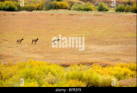 Trio of elk confronting and jumping fenceline, Bozeman, Montana, USA - Stock Photo