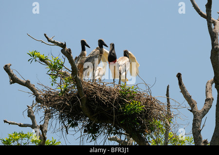 Jabiru (Jabiru mycteria) family perched on nest, adult and young, Pantanal, Brazil. - Stock Photo