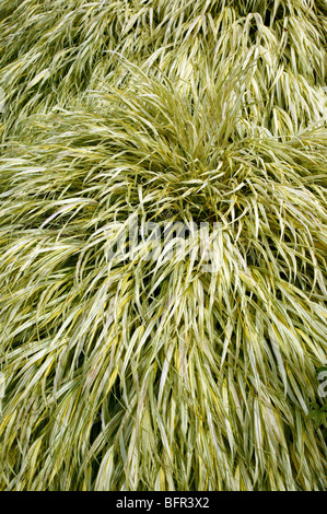 Japanese Forest Grass [Hakonechloa macra 'Aureola' ] in the  Alpine Rock garden, Bellevue Botanical Garden - Stock Photo
