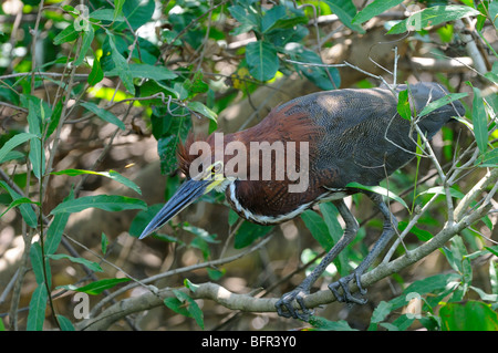 Rufescent Tiger-Heron (Tigrisoma lineatum) perched on branch, looking for food, Pantanal, Brazil. - Stock Photo