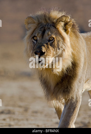 Portrait of an old Lion with a torn ear - Stock Photo