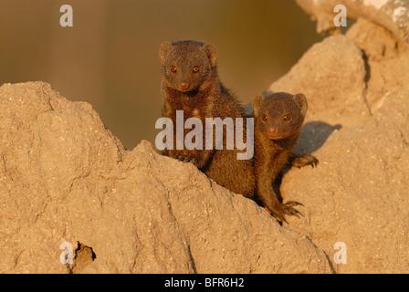 Dwarf mongoose pair on termite mound - Stock Photo