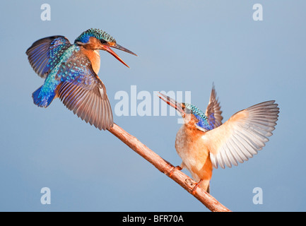 Malachite Kingfisher pair with wings raised interacting on branch - Stock Photo