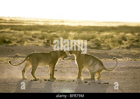 Lion play fighting (Panthera leo) - Stock Photo