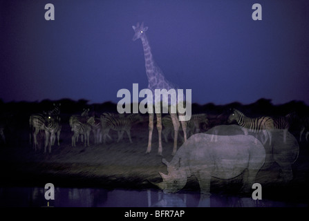 Black rhino Southern Giraffe and Burchell's Zebra at a waterhole at twilight - Stock Photo