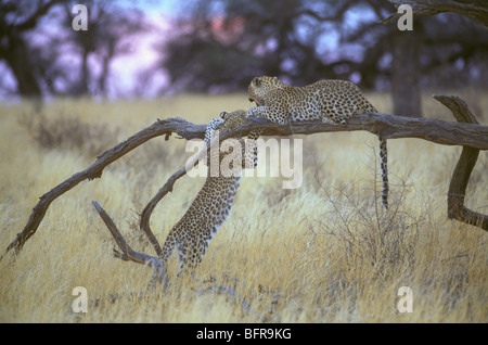 Leopard and cub (Panthera pardus) interacting while lying on a branch - Stock Photo