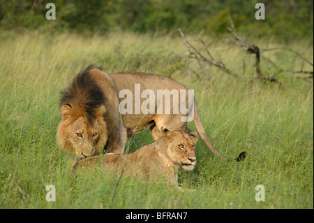 Mating pair of lions with a male sniffing to test the female's readiness to mate - Stock Photo