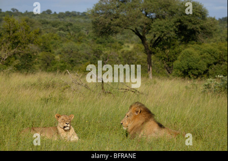 Mating pair of lions lying in an open grassland - Stock Photo