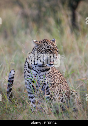 Female leopard snarling with tail flicking - Stock Photo