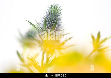 sea holly thistle type plant - Stock Photo