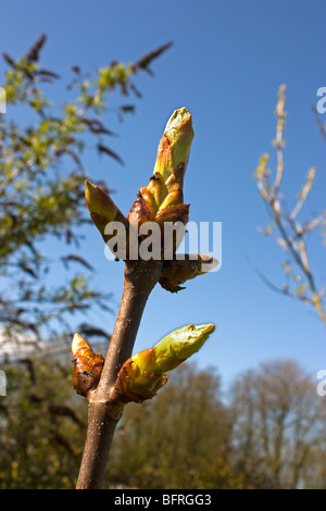 Sticky buds of the Horse Chestnut tree, Aesculus hippocastanum - Stock Photo