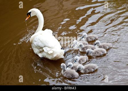 Mother swan with cynets Shrewsbury Shropshire England United Kingdom UK - Stock Photo