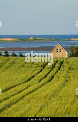 grain field and barn overlooking New London Bay and Cavendish sandspit, Springbrook, Prince Edward Island, Canada - Stock Photo
