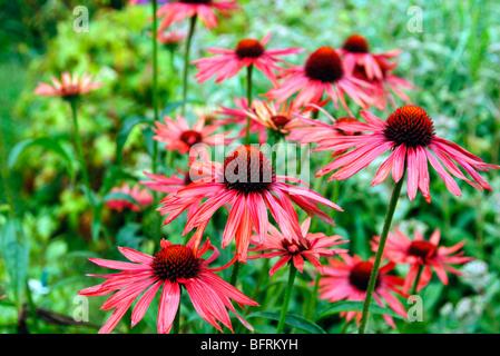 Echinacea 'Hot Summer' from Marco van Noort - Stock Photo