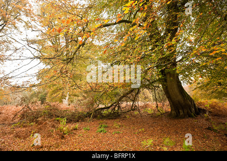 Autumn tree details in Mark Ash Wood New Forest Hampshire UK - Stock Photo