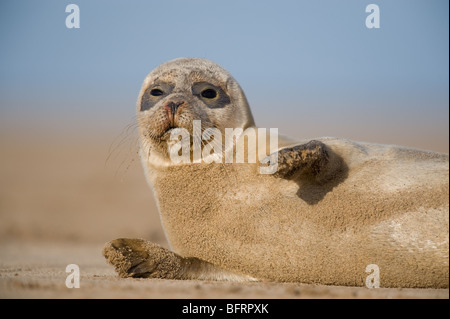 Grey Seal (Halichoerus grypus) at Donna Nook - Stock Photo
