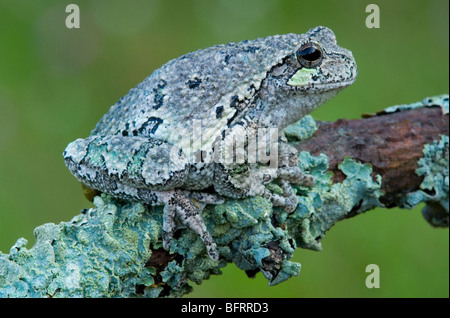 Gray Tree Frog Hyla versicolor camouflaged and blended with lichens Eastern North America, by Skip Moody/Dembinsky - Stock Photo