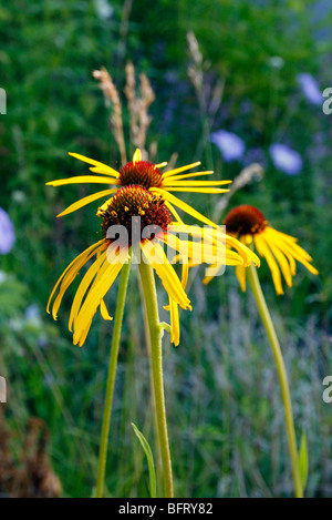 Echinacea paradoxa - yellow coneflower - Stock Photo