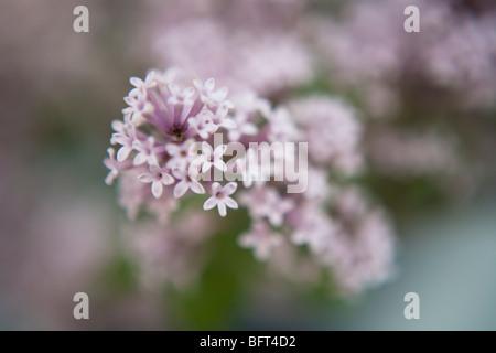 Bonsai Lilac Tree, Brooklyn Botanical Gardens, New York City, New York, USA - Stock Photo