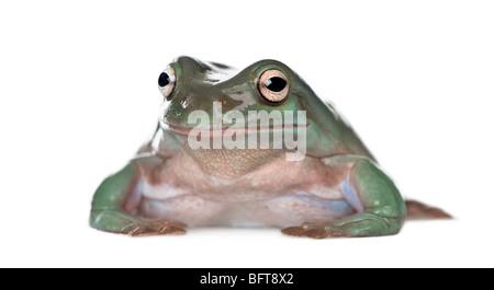Australian Green Tree Frog, Litoria caerulea, against white background, studio shot