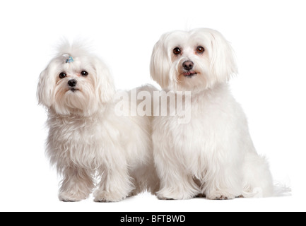 Two maltese dogs in front of a white background, studio shot - Stock Photo