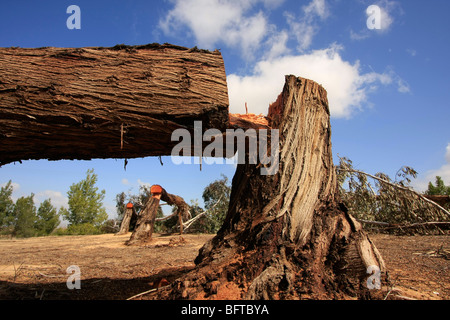 Israel, Negev desert, vandalised Eucalyptus trees in Dudaim Forest - Stock Photo