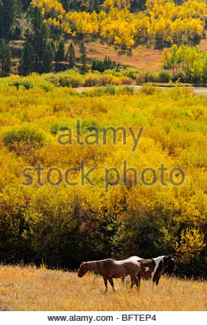 Grazing horses in autumn pasture, with willow and aspen, Bozeman, Montana, USA - Stock Photo