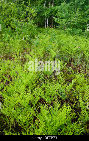 Bracken fern (Pteridium aquilinum) Colony in spring, Greater Sudbury, Ontario, Canada - Stock Photo