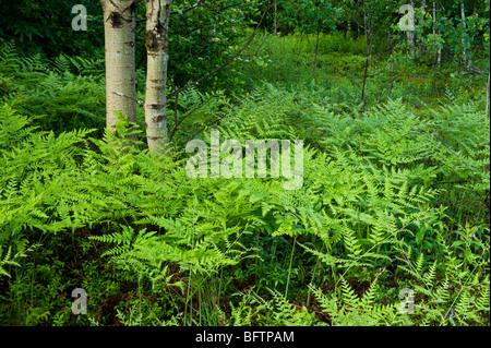 Bracken fern (Pteridium aquilinum) Colony in spring, Greater Sudbury, Ontario, Canada Stock Photo