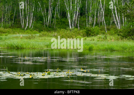 Yellow water lilies and birch tree reflections in beaverpond, Greater Sudbury, Ontario, Canada - Stock Photo