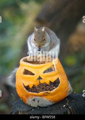 Grey Squirrel eating seeds from a halloween Pumpkin - Stock Photo