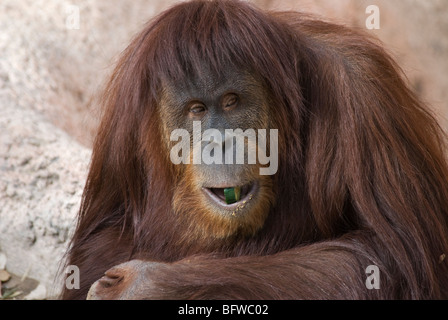 Sumatran Orangutan Pongo abelii Rio Grande Zoo Albuquerque New Mexico USA - Stock Photo