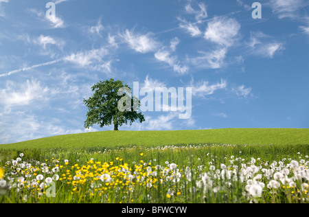 oak tree on hill in spring - Stock Photo