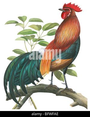 Red jungle fowl - Stock Photo