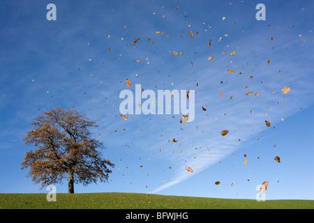 oak tree on hill, falling leaves, autumn Stock Photo