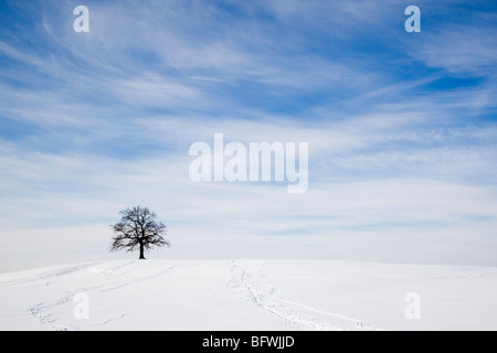 oak tree on snowy hill in winter - Stock Photo