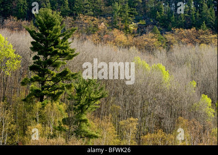 Aspens with emerging foliage and white pine on slopes overlooking Onaping River, Greater Sudbury, Ontario, Canada - Stock Photo