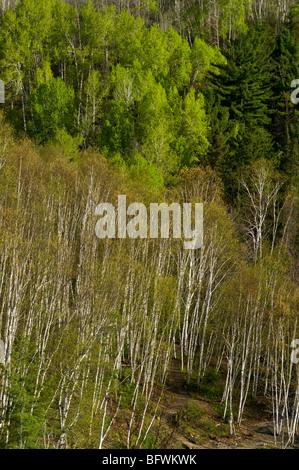 Aspens and birches on hillside near Onaping Falls, Greater Sudbury, Ontario, Canada - Stock Photo