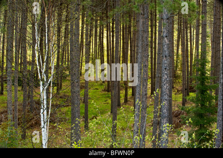 Red pine grove with fresh green foliage in spring understory, Greater Sudbury, Ontario, Canada - Stock Photo